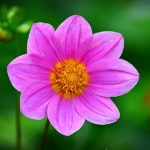Cosmea | La guida al fiore dell'estate | Casa e Giardinaggio